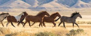野生馬と共存するリノ!  about Virginia Range wild horses